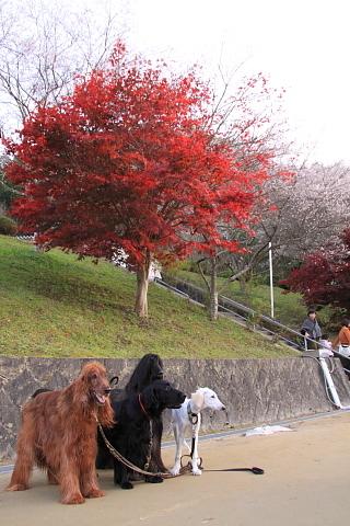 9b21f1362shikizakura_l