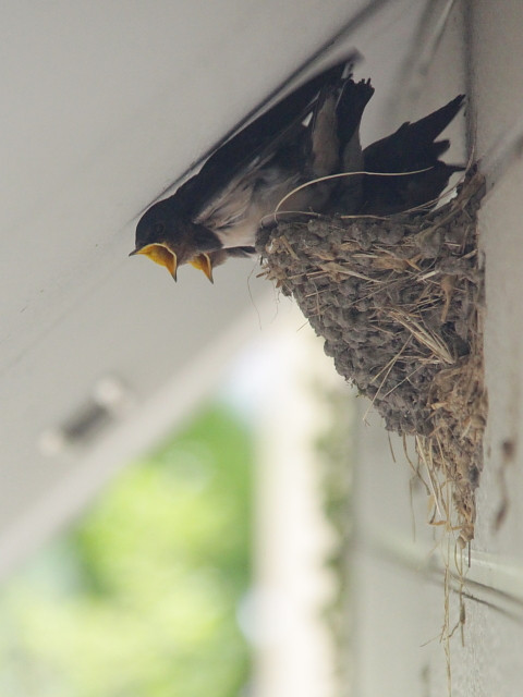 2812f2318swallows_480