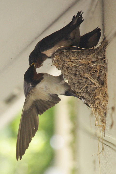 2812f2335swallows_480